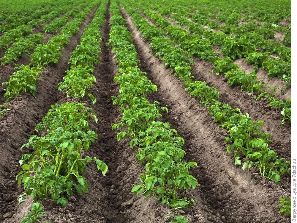 Посадка картофеля как правильно сажать чтобы получить хороший урожай