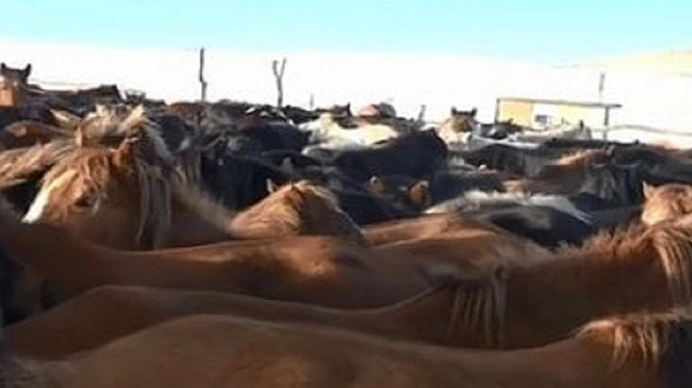 В Акмолинской области создано 85 площадок (штрафные стоянки) для временного содержания скота, на которых животные будут находиться до установления владельцев